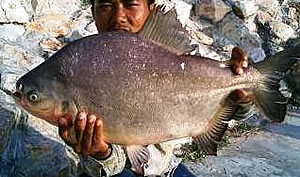 blackpacu